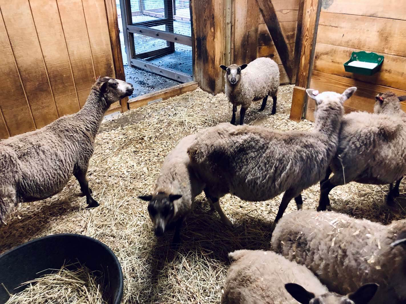Shetland Sheep at the Prospect Park Zoo in Brooklyn