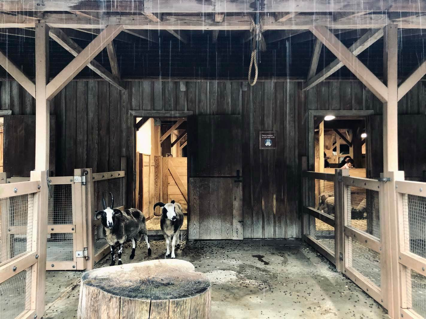 The goats at the Barn and Garden area of the Brooklyn Zoo