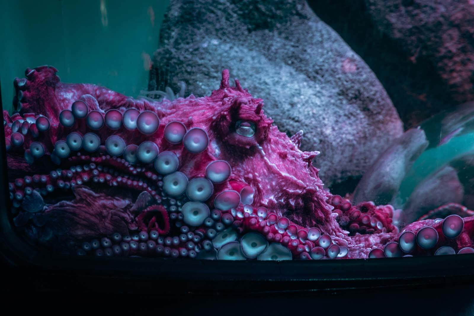 giant pacific octopus at the new york aquarium in brooklyn