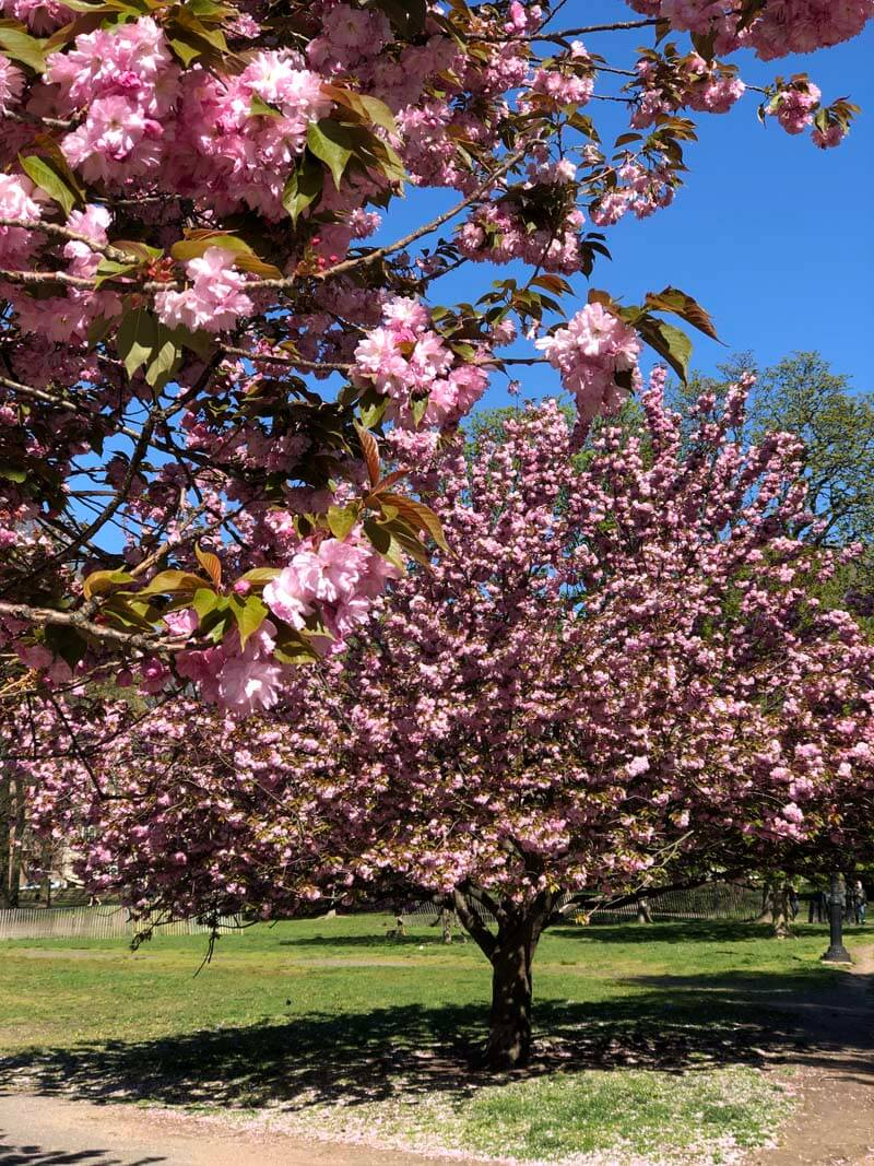 Cherry Blossoms in Brooklyn in Prospect Park