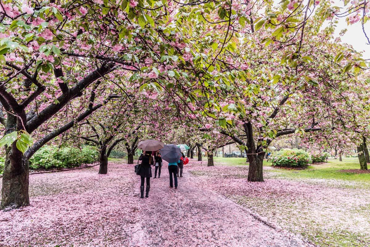 blooming-cherry-blossoms-in-spring-for-the-brooklyn-botanic-garden-cherry-blossom-festival