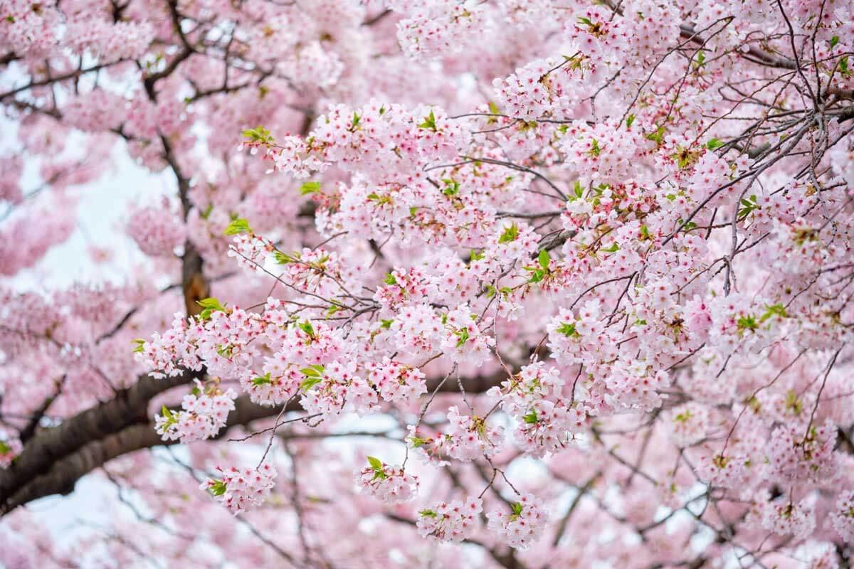 blooming-sakura-cherry-blossom-brooklyn-botanic-garden