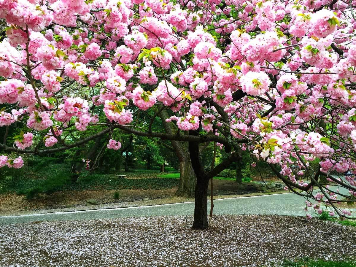 cherry-blossom-tree-in-brooklyn