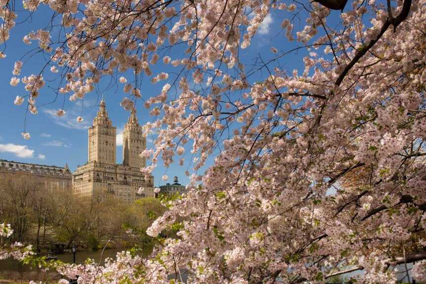 cherry-blossoms-in-spring-in-central-park-nyc