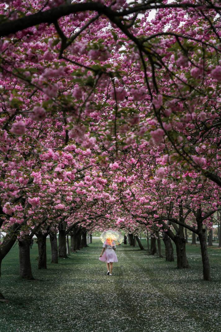 cherry esplanade in brooklyn botanic garden