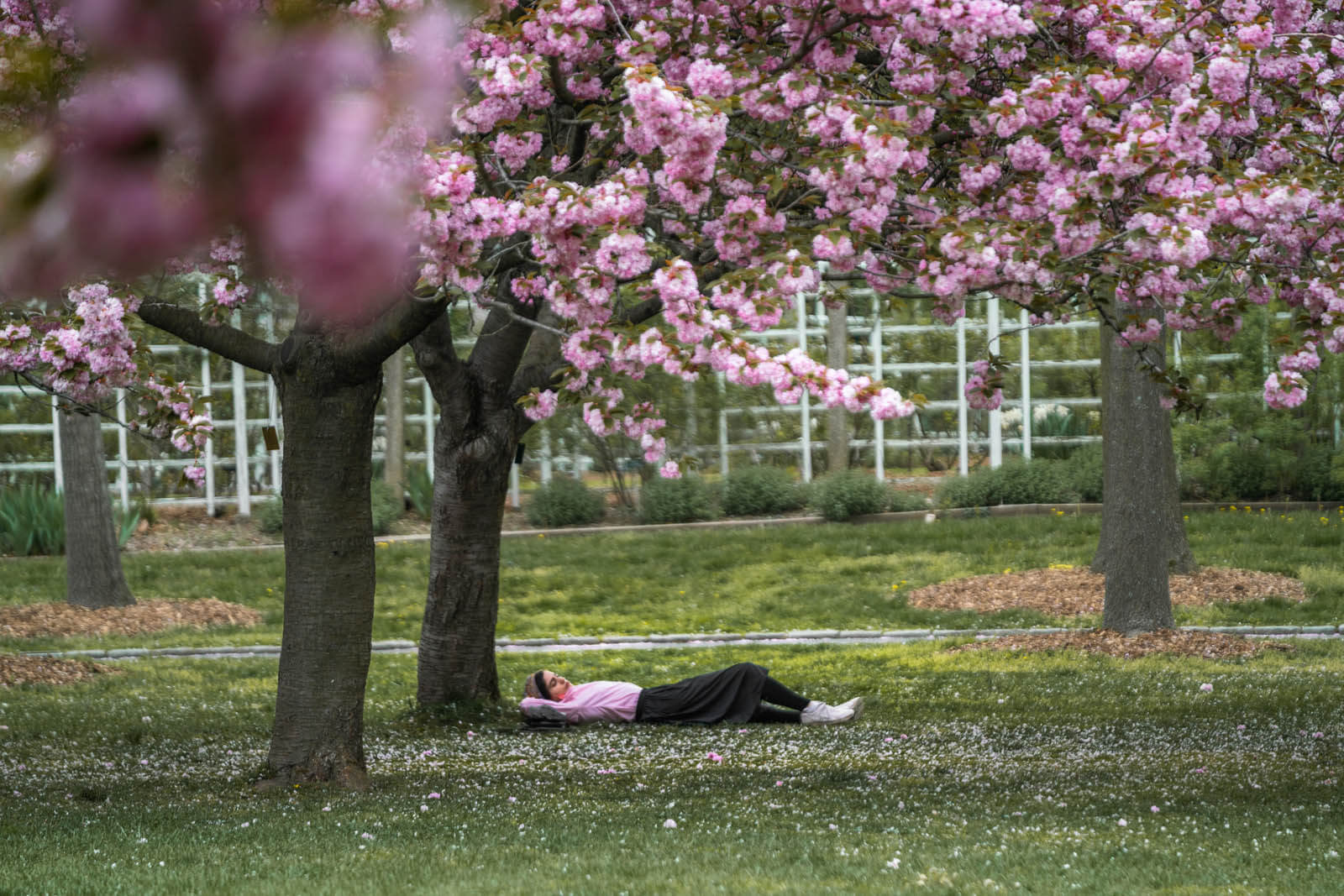 girl taking nap under cherry blossom tree in Brooklyn Botanic Garden