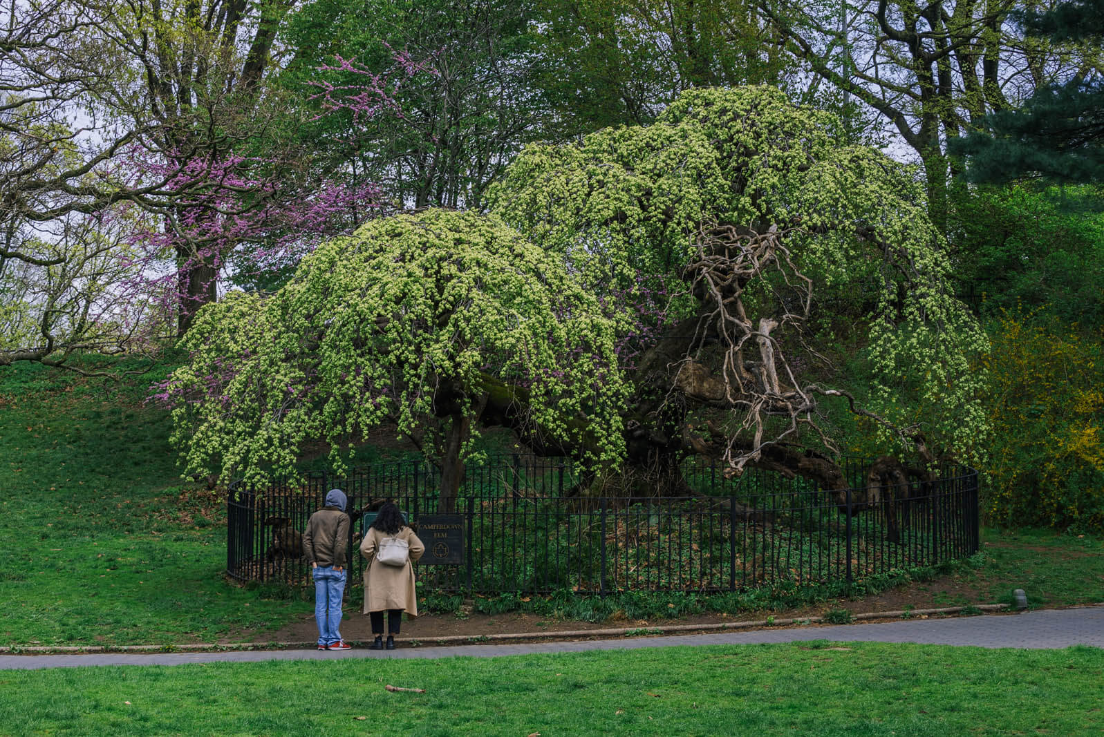 Couple looking at Camperdown Elm tree in Prospect Park Brooklyn