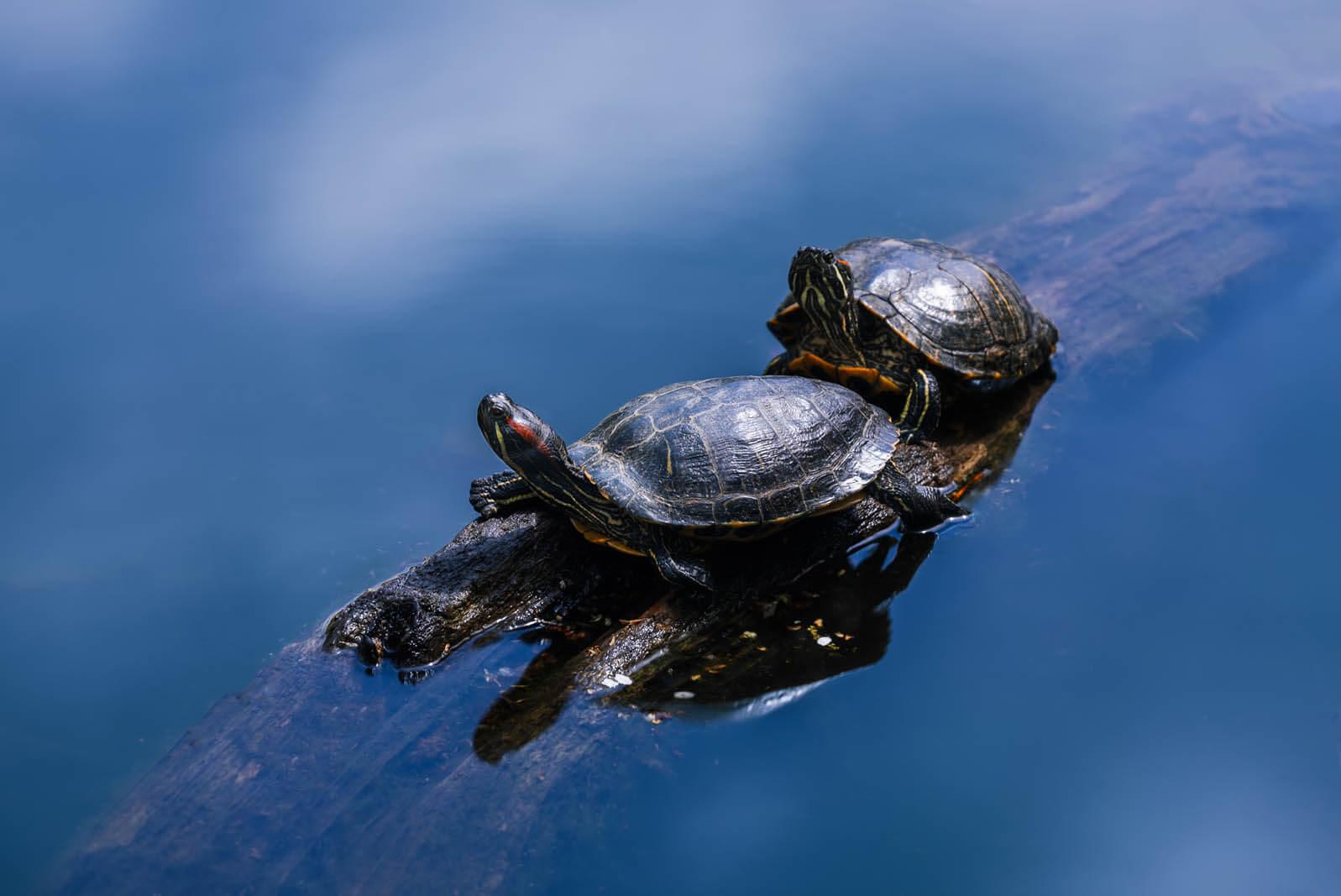Turtles sunbathing in Prospect Park in Brooklyn