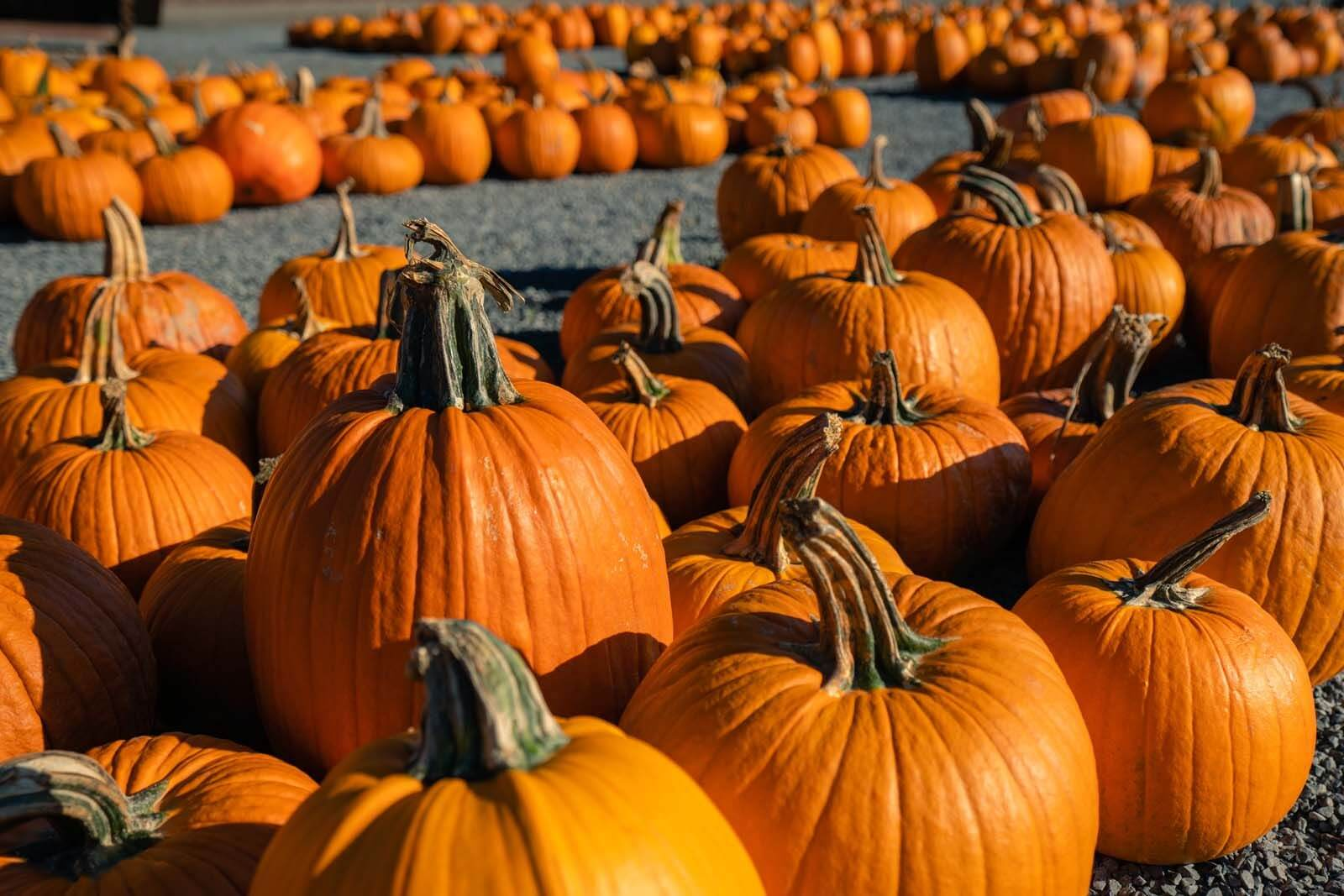 pick out your favorite pumpkin in the fall in new york