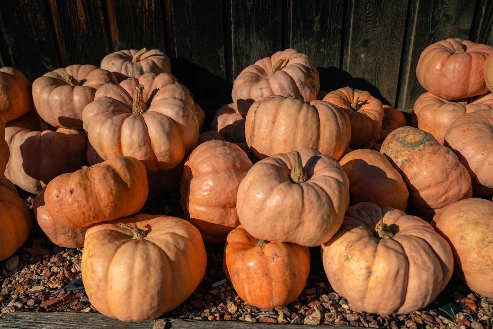 piles of cinderella pumpkins in the fall in new york
