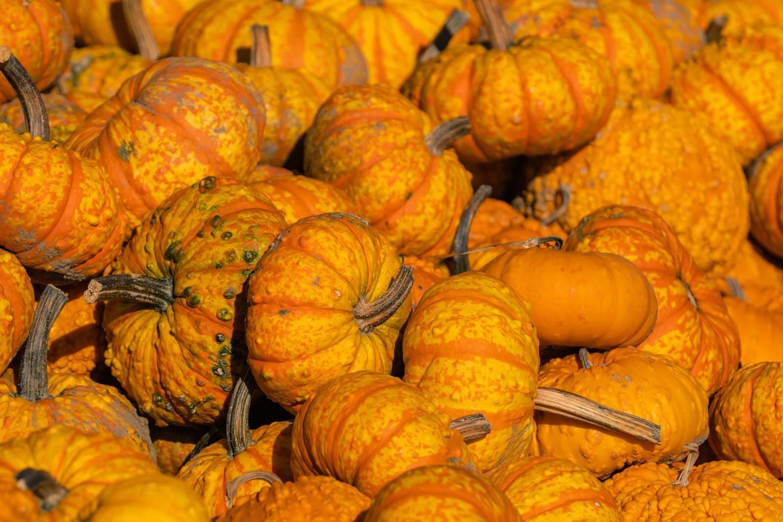 piles of pumpkins at a pumpkin and farm store in the fall in new york